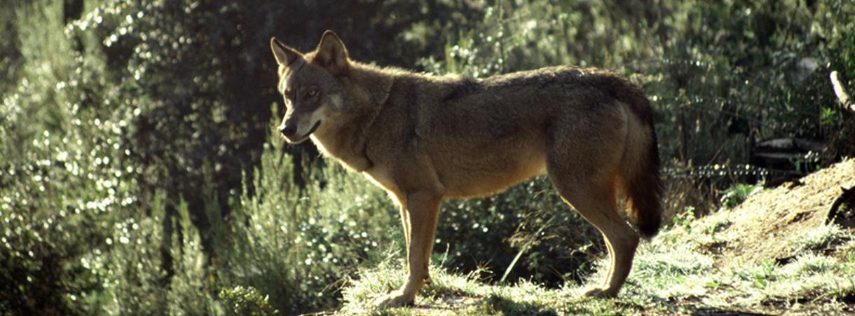 O Lobo e o Homem 4