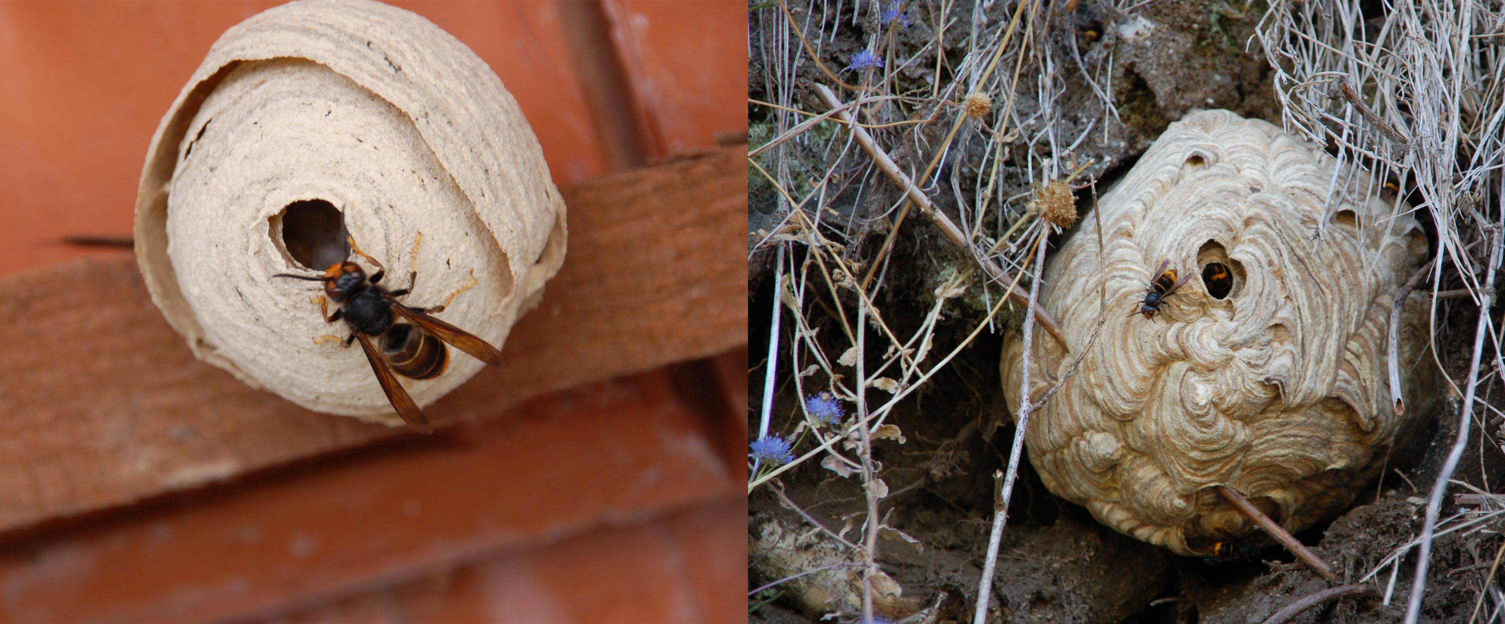 Como identificar e agir se detectar um ninho de vespa asiática